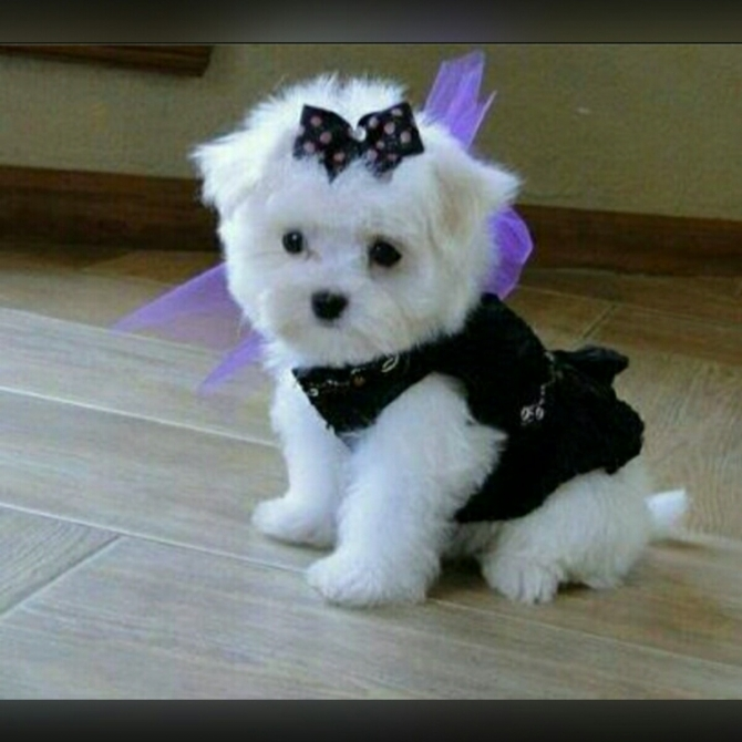 snow white Maltese puppies