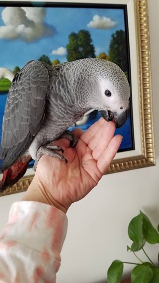 VERY TAME CONGO AFRICAN GREY PARROT AVAILABLE TO GO