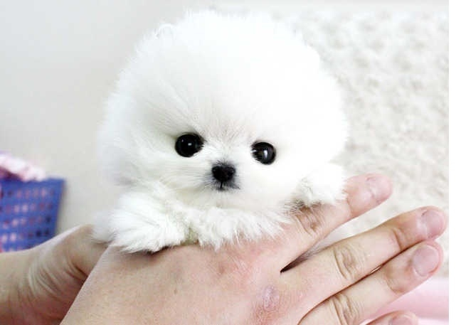 AHSGE Awesome male and female Pomeranian puppies