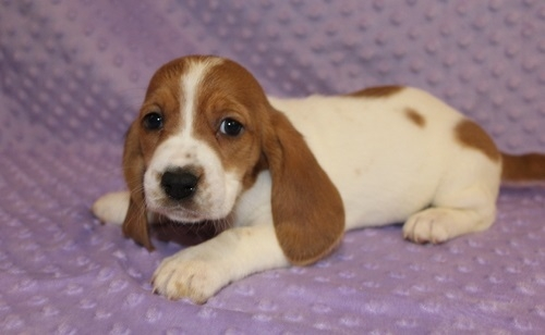 Wow Charming And Healthy Male And Female Basset Hound