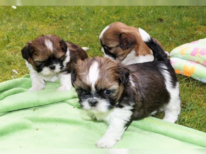 CAVAPOO PUPPIES - TEXT: 352-658-3651 DALLAS For sale Dallas
