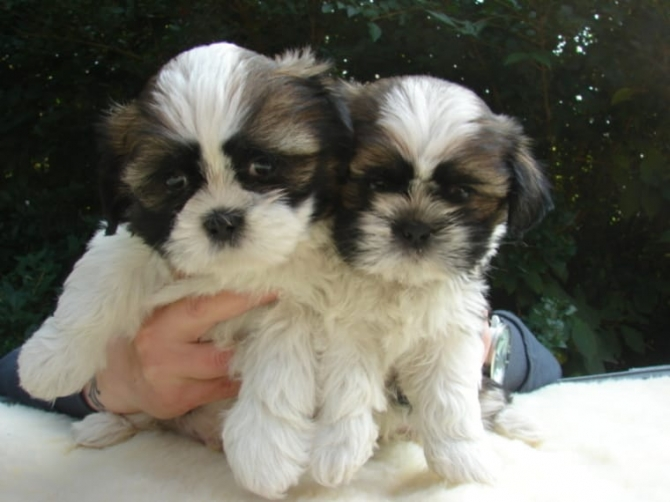 Shih Tzu Puppy Under $200 For sale United States Pets - 1