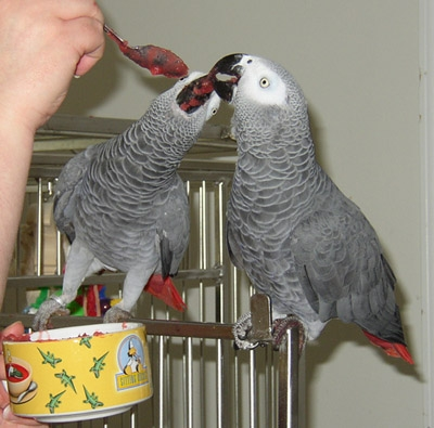 Hand-reared African Grey Parrots available now