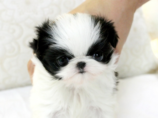 GOOD AND ATTRACTIVE MAGNIFICENT shih Tzu puppies ready for new and lovely homes.