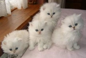 Adorable Persian Kittens Available. Text us only at 615 541-9122