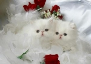 Registered Persian Kittens Available. Text us only at 615 541-9122