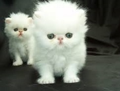 CFA Persian Kittens - Pure Bred. Text us only at 615 541-9122