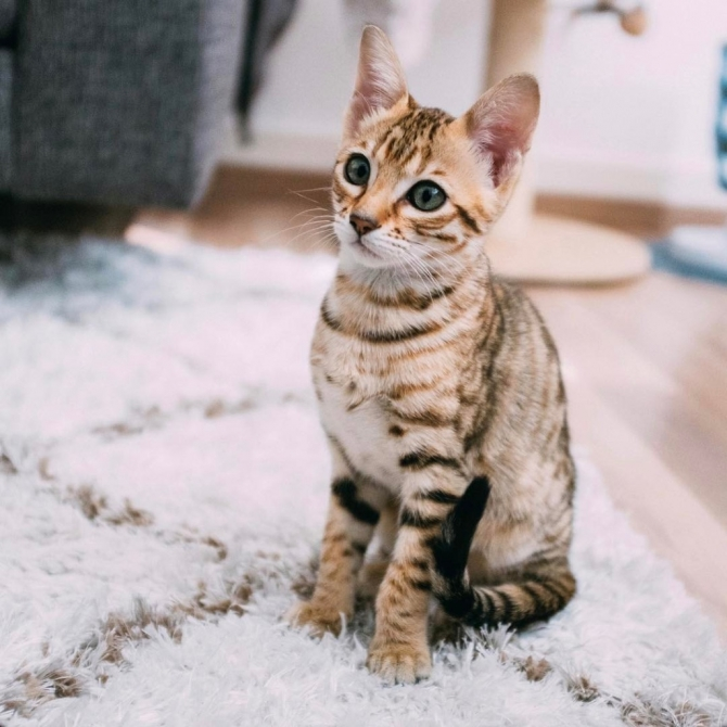 SAVANNAH KITTENS CHICAGO For sale Chicago Pets Cats
