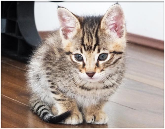 Cute Savannah Kittens For Sale