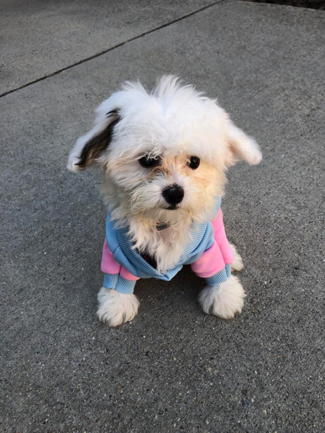 Teddy Bear Puppies Reno Nv For sale United States - 1