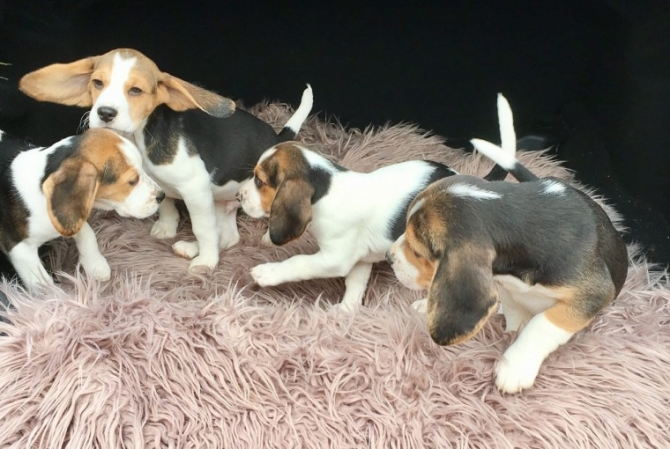 Pure Breed Beagle Puppies Hayward For Sale Humboldt