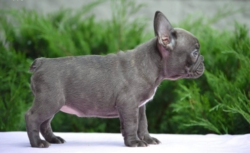 Fantastic Blue French Bulldog Pups .Text Us At 503  x 832 x 0410