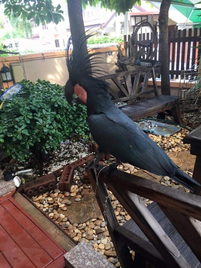 SUPER TAMED BLACK PALM COCKATOO JACKSON For sale Mississippi