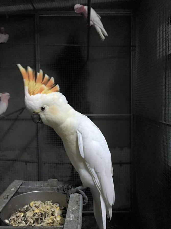 well nurtured cockatoo