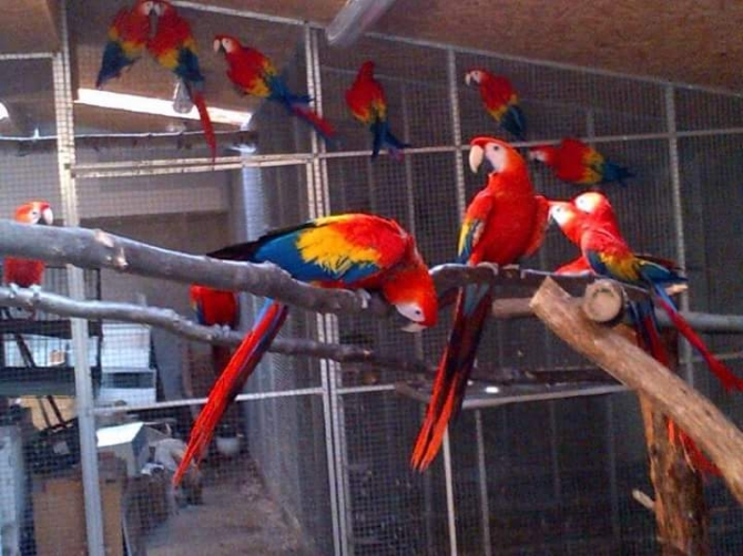 VERY TAME BABY AND ADULT SCARLET MACAW- CAN DELIVER DUSON For sale  Lafayette Pets Birds