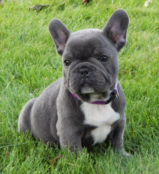 Quality Akc French Bulldog Puppies