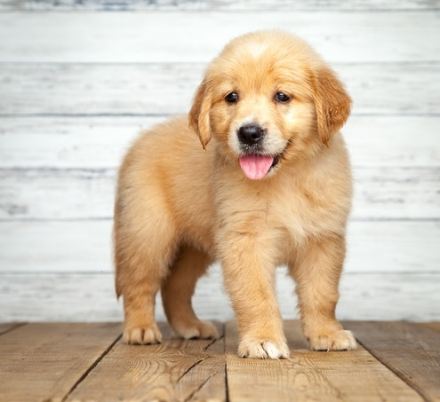 Akc Golden Retriever Puppies!!