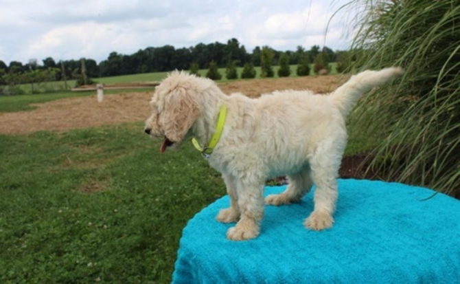 Well Socialized Goldendoodle
