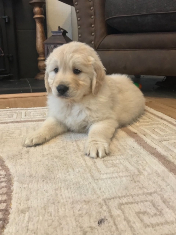 AKC REGISTERED CHUNKY GOLDEN RETRIEVER PUPPIES YONKERS For sale New York  Westchester Pets Dogs