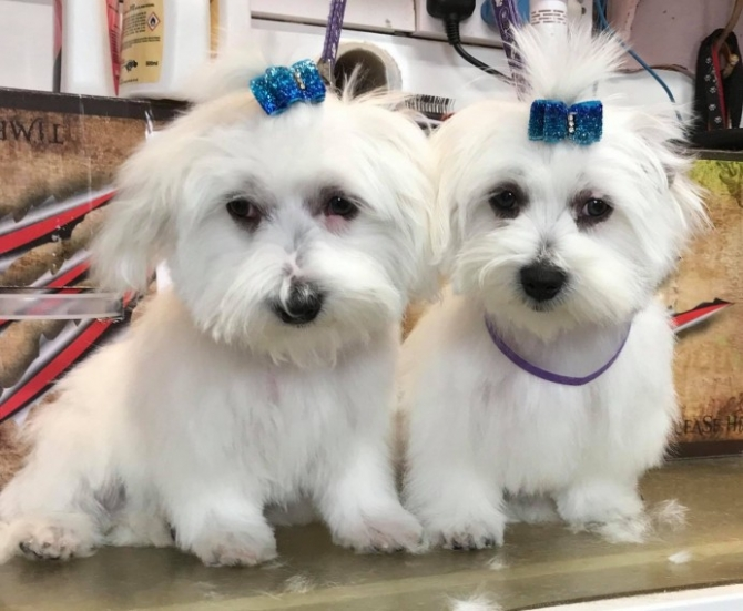 Malefemale Teacup Maltese Puppies Available. - For sale