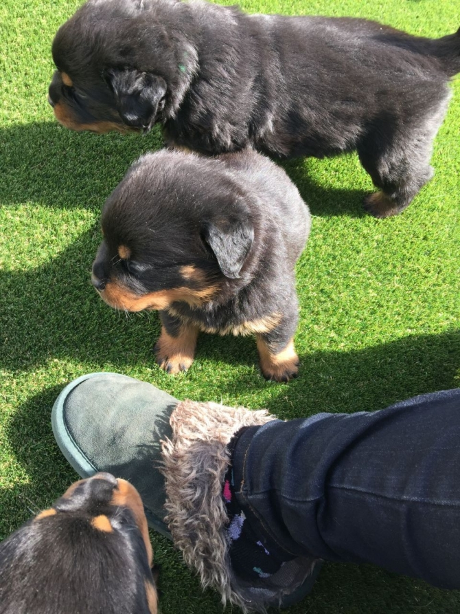 Top Akc German Rottweilers Puppies Available Fort Worth For Sale