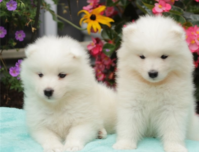 Samoyed Puppies Anchorage For Sale Anchorage Pets Dogs