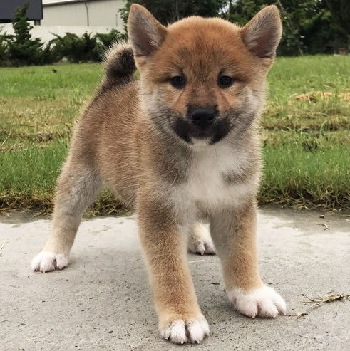 Beautiful Shiba Inu Male Puppies