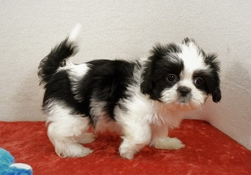 Stunning, Imperial, Male And Female Shih Tzu Puppies