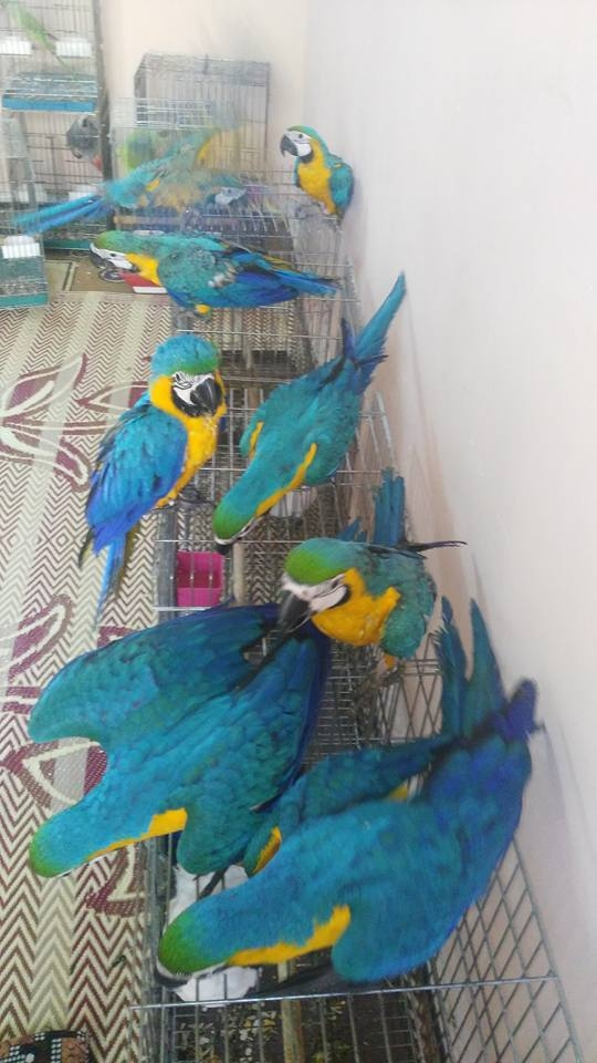 Well tamed and adorable macaw blue and gold