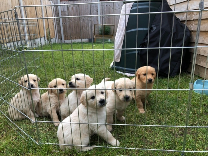 Akc Registered Chunky Golden Retriever Puppies