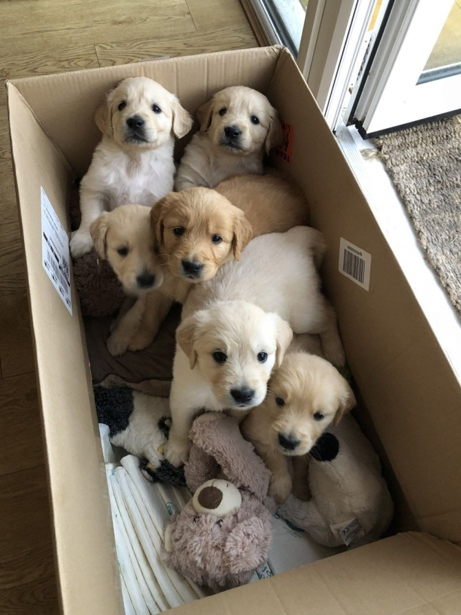 AKC REGISTERED CHUNKY GOLDEN RETRIEVER PUPPIES NEW YORK For sale Hudson  Valley Pets Dogs