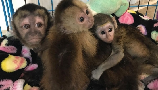Cute Capuchin Monkey For Adoption