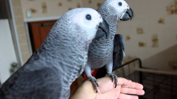 AFRICA GREY PARROTS AND FRESH CANDLE TESTED FERTILE PARROT EGGS FOR SALE