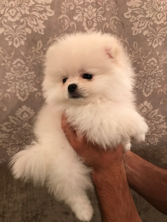 Pomeranian Puppies. 8328616512