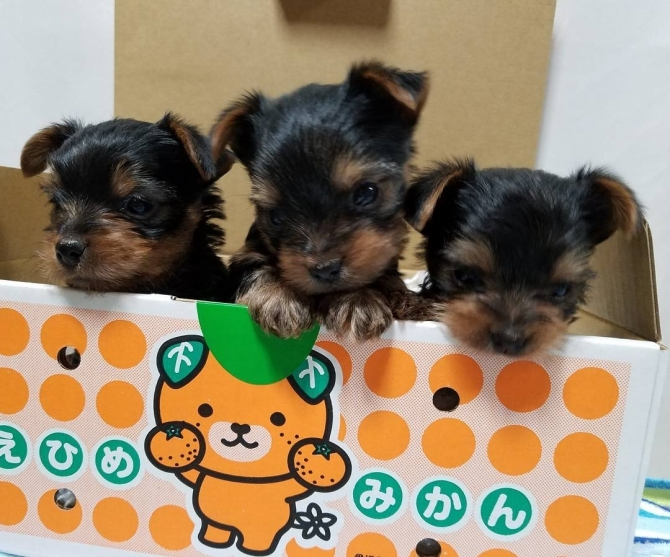 Pure Breed 100% Parti Color Toy Yorkies puppies.