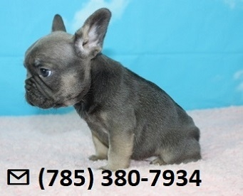 Naughty X-Mass French Bulldog Puppies Ready Now.