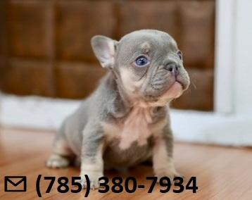 Playful X-Mass French Bulldog Puppies Ready Now.