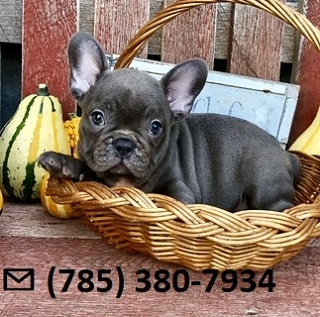 Fast X-Mass French Bulldog Puppies Ready Now.