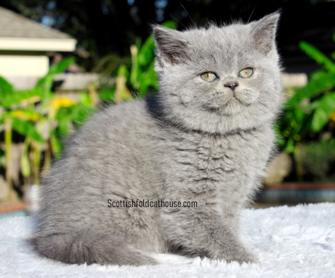 BLUE SCOTTISH FOLD FEMALE WITH STRAIGHT EARS KATY For sale Houston