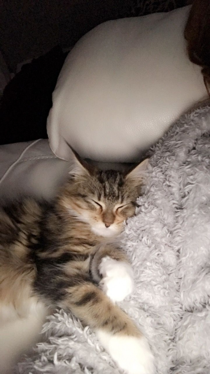 Stunning Maine Coon Kittens Available 4039073128