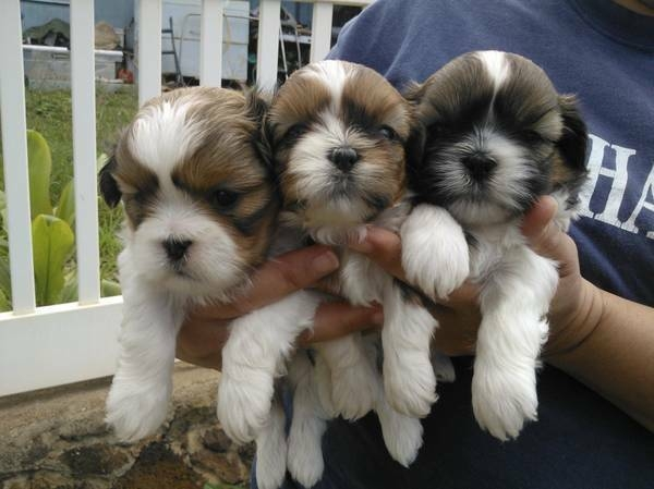 micro-chipped Shih Tzu puppy   text me 985*247*8873