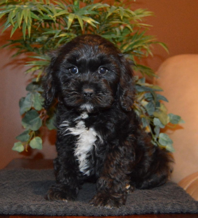 MALE AND FEMALE COCKAPOO PUPPIES 518-512-9567 TULSA For sale Tulsa Pets Dogs