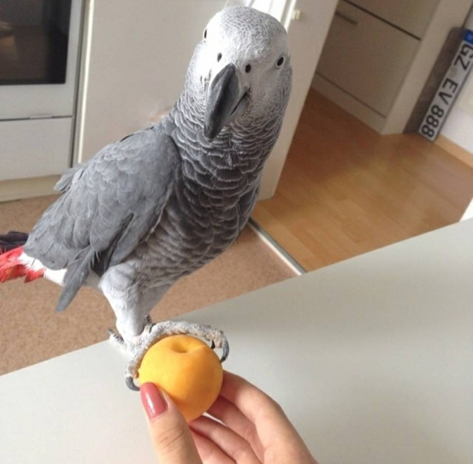 Cute Sweet And Lovely African Grey Parrots For Sale  831 278-5287