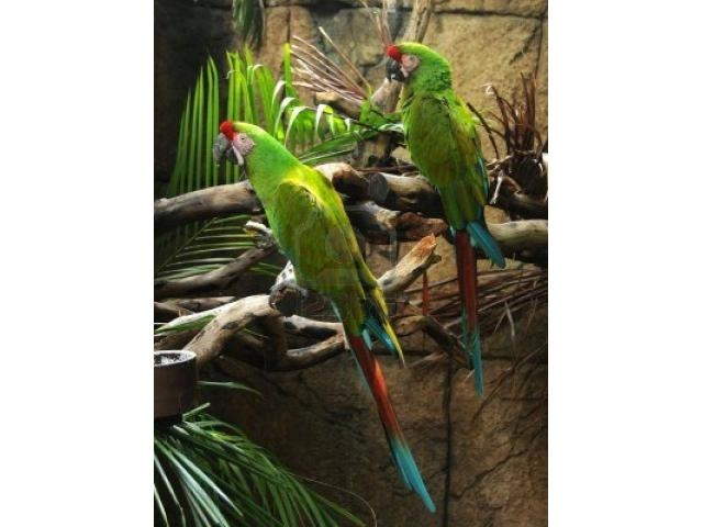 BEAUTIFUL MILITARY MACAWS FOR SALE.