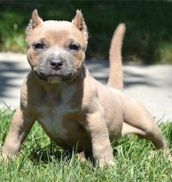 AMERICAN PITBULL PUPPIES TEXT 5865366712 WASHINGTON For sale District of  Columbia Pets Dogs
