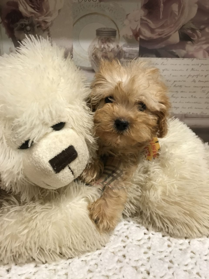 TRULY SCRUMPTIOUS TOY MALTIPOO BABIES TEXT 5865366712 DOVER For sale Dover  Pets Dogs