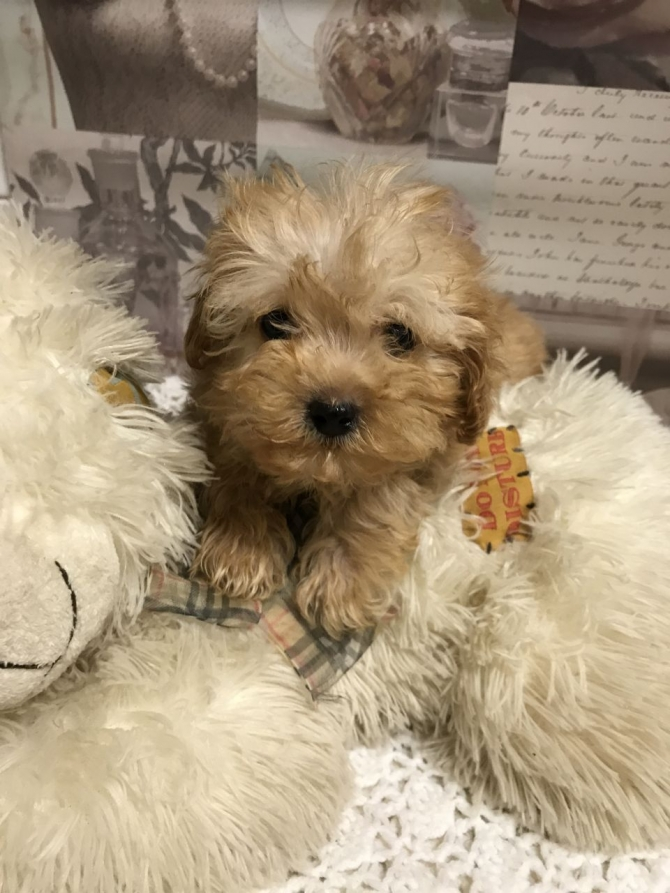TRULY SCRUMPTIOUS TOY MALTIPOO BABIES TEXT 5865366712 DOVER For sale