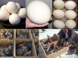 Ostrich eggs and chicks for sale