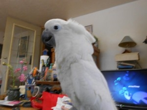 SUPER SWEET UMBRELLA COCKATOO TEXT OR CALL 415-226-9132