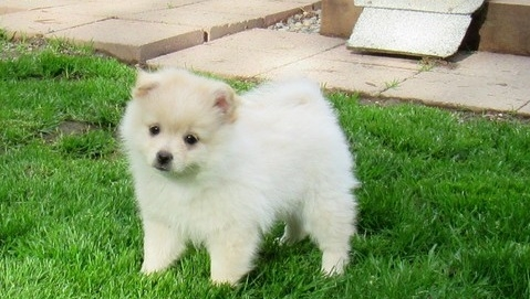 male and feMale pomeranian they are small and adorable.